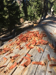 we interrupted a chipmunks dinner on the trail. Hundreds of pine cone shreds littered the trail. We decided they must be getting ready for Winter.