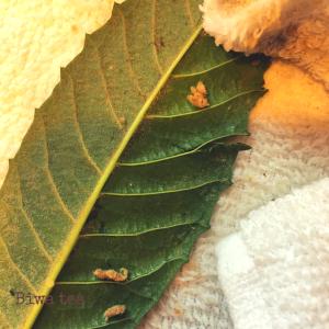 Loquat leaf fuzz