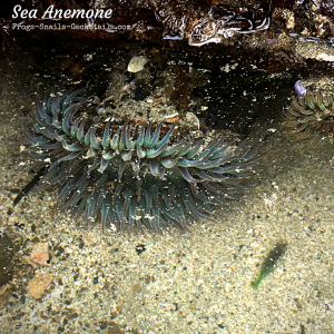 Sea anemones Tide pools San Luis port
