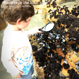 Finding Muscles in the intertidal zone at Avila Beach California